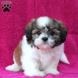 Shih Tzu Puppy In Ronks Pa Shihtzu Shih Tzu Puppy Shih Tzu Dog Shih Tzu