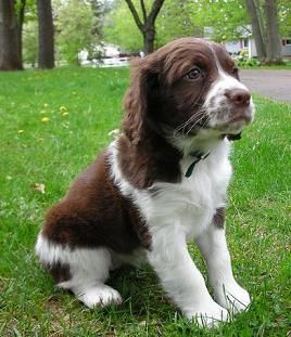 Liver and white Brittany Spaniel puppy! Fell in love with one of these at a vineyard this weekend