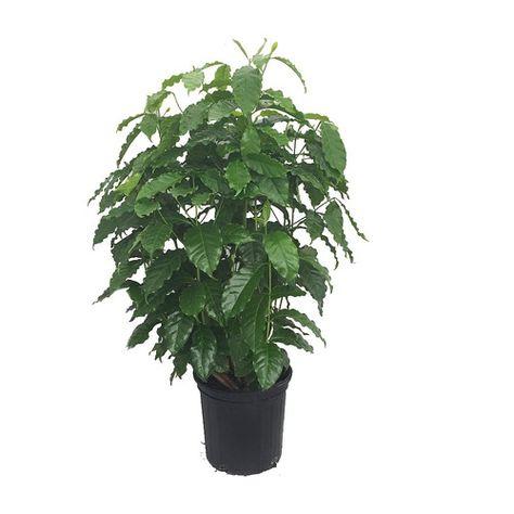 "Arabica Coffee Bean Plant - 8"""" pot - Grow & Brew Your Own"