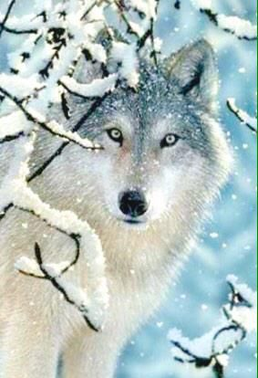 My granddaughter likes wolf images. Her late father considered the wolf his spirit animal. Wildlife Paintings, Wildlife Art, Beautiful Creatures, Animals Beautiful, Animals Amazing, Tier Wolf, Animals And Pets, Cute Animals, Wild Animals