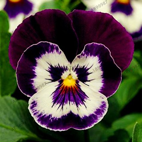 100Pcs/bag 24 Color DIY Home Garden Pansy Seeds Potted Or Yard Ornamen – Garden Yard Goddess