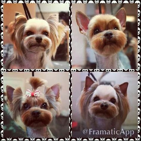 Repinned before after grooming before after dog repinned before after grooming before after dog grooming photos pinterest dog yorkies and yorkshire solutioingenieria Choice Image