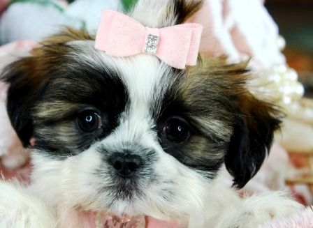 Tiny Shih Tzu Puppies For Sale We Ship Very Safe Easy Financing Available Visit Our Website Teacup Shih Tzu Puppy Teacup Puppies For Sale Teacup Shih Tzu