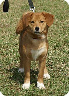Shiba Inu Beagle Mix Dog For Adoption In Hawk Point Missouri Mr