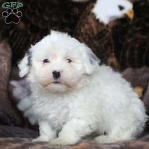 Havanese Puppies For Sale Havanese Breed Profile Havanese Dogs Havanese Puppies Havanese Puppies For Sale
