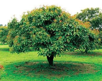 How To Grow An Avocado Tree From Seed Grow Avocado Growing An Avocado Tree Avocado Plant