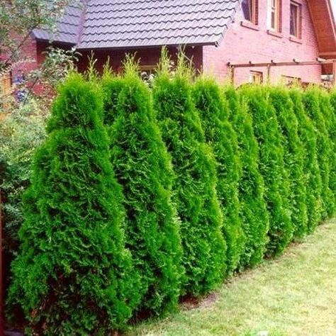 NORTHERN WHITE CEDAR Thuja Occidentalis SEEDS 50