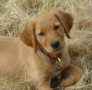 Golden Retriever Lab Mixes Google Search Reference Dog