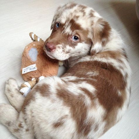 Exceptionally rare cookies n cream pupper . Exceptionally rare cookies n cream pupper Shepherd Mix Puppies, Lab Mix Puppies, Aussie Puppies, Mix Breed Dogs, Australian Shepherd Lab Mix, Mini Australian Shepherds, Cute Cats And Dogs, Cute Dogs And Puppies, Cute Dog Mixes