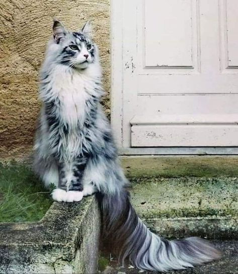 Regal kitty... Norwegian Forest cat