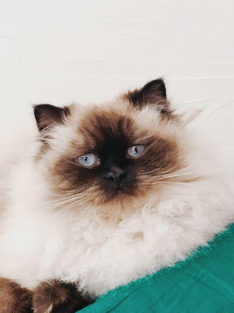 #Nicky #ragdoll #ragdollcat #ragdollkitten #ragdollcatsandkittens #chat #cats #cat #catlovers #catsandkittens #catart #catoftheday #catofashions #cute #cutecats #cuteanimals #mignon #mignonnes #pictureoftheday #picture #photography #photo