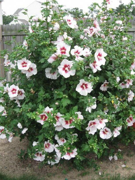 Rose Of Sharon Is Actually A Variety Of Hibiscus Which Is Native To Indian Subcontinent And Other Asian Coun Rose Of Sharon Tree Planting Roses Rose Of Sharon
