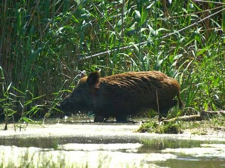 Boozy feral pig steals beer, gets drunk and starts fight with a cow