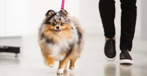 Sprout Of Mypompals Petsmart Commercial Pomeranian Toy Dog Breeds Pomeranian Dog Little Dogs