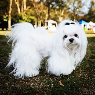 Maltese Height 8 Inches To 10 Inches Weight Up To 7 Pounds Life