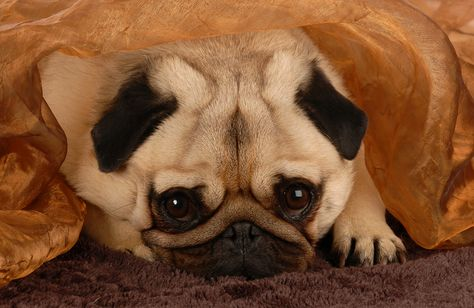 Est-ce que les chiens deviennent déprimés? - #chiens #deprimes #deviennent -    Ma défunte mère, Virginia, qui portait en moi un grand amour pour tous les animaux (nous vivions dans une petite ferme familiale) était fière de mes réalisations professionnelles mais trop grande, vantardement fière, à deux occasions seulement. Tous deux se sont produits à la fin des années 1980, alors qu'elle était assise dans les toilettes et lisait un article de fond que j'avais écrit dans Reader's Digest. Plus t