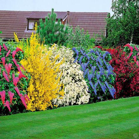 Flowering Shrubs Hedge - 5 hedge plants  Forsythia Spectabilis - golden 150-250. Spirea Arguta - white 150-200.  Weigelia - burgundy red 125-175.  Buddleja- Pink 125-150. Ceanothus Yankee Point - Blue 125-150.yours now