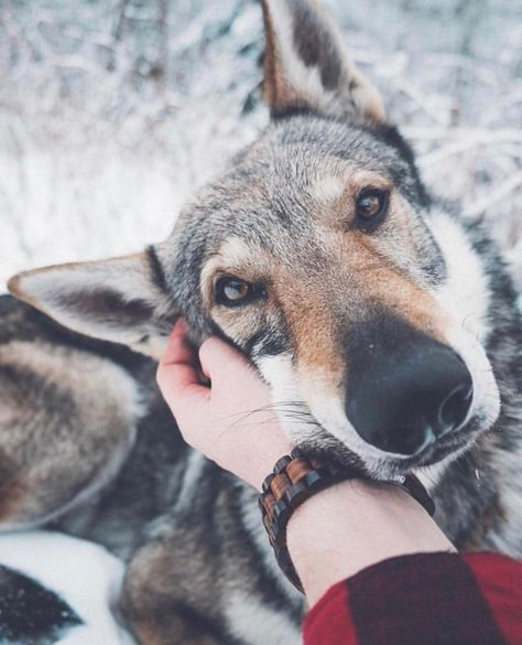 2 698 Curtidas 19 Comentarios Send Us Your Wolfdog Pictures Lovewolfdogscommunity No Instagram Me And My Best Friend Tag Dog Photos Wolf Dog Dogs