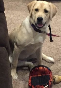 Labrador Retriever Puppy For Sale In Pickerington Oh Adn 58042