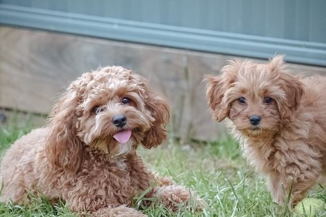 """Remi • Mila 🐾 on Instagram: """"Sister gals 🍃 the sweetest two 💕 • • • • • #cavoodle #cavoodlelife #dogsofinstagram #cutepuppy #puppy #puppyoftheday #puppymodel #doglovers…"""""""