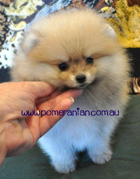 Orange Pomeranian Puppy Pomeranian Puppy Cute Pomeranian