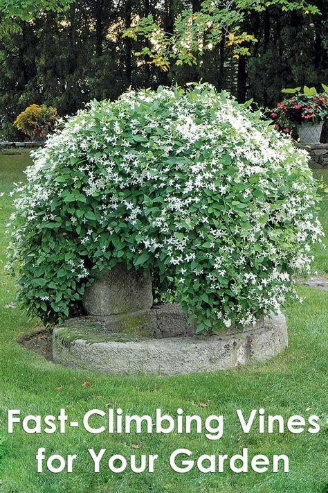 Quiet Corner:Fast-Climbing Vines for Your Garden