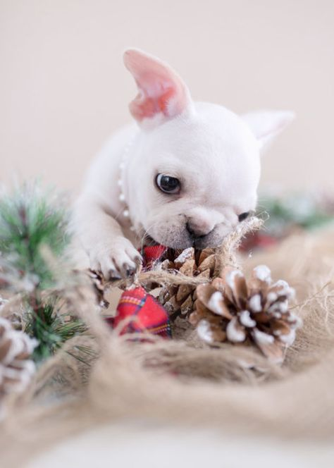 List of Pinterest french bulldogs cream puppies pictures