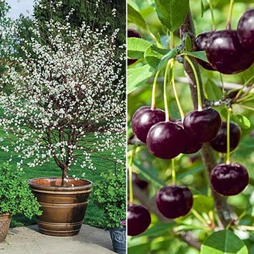 Cherry Juliet Dwarf Gardens Alive Raspberry Plants Edible Garden Dwarf Cherry Tree
