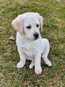 Labardorretriever Labradorpuppy Labradorretrieverpuppies