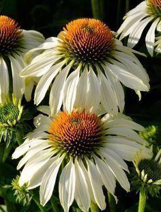 rabatt inspiration dahlia rabatt 50pcs/bag bonsai Echinacea purpurea 9 Kind of c...#50pcsbag #bonsai #dahlia #echinacea #inspiration #kind #purpurea #rabatt