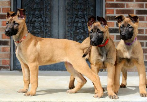 Belgian Mali pups!! I want another one!!!!