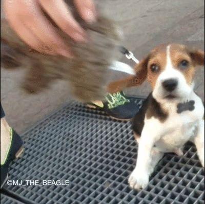 Beagle puppy + subway grate