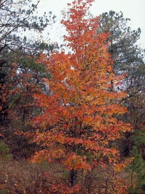 Acer leucoderme (Chalk maple) #17565  MID_STORY