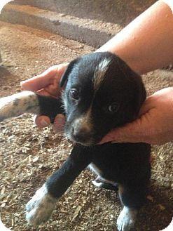 Minneapolis Mn Border Collie Australian Shepherd Mix Meet Magic A Puppy For Adoption Puppy Adoption Kitten Adoption Pets