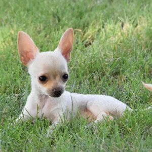 Browse The Widest Most Trusted Source Of Chihuahua Puppies For