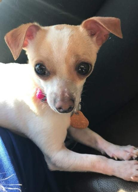 Fefe Is An Adoptable Chihuahua Searching For A Forever Family Near Johnston Ia Use Petfinder To Find Adoptable Pets In Your Are Dog Adoption Dogs Rescue Dogs