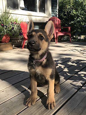 Detroit Mi German Shepherd Dog Meet Shelby A Dog For Adoption