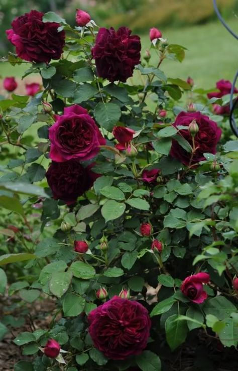 Munstead Wood - A David Austin Rose - Gardening For You                                                                                                                                                                                 More