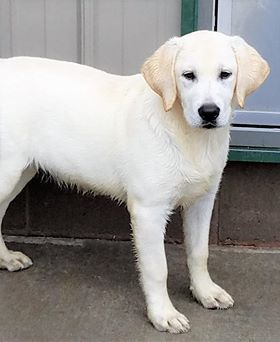 Pin By Jane Mahoney On White Yellow Labs Labrador Adoption Pet Home