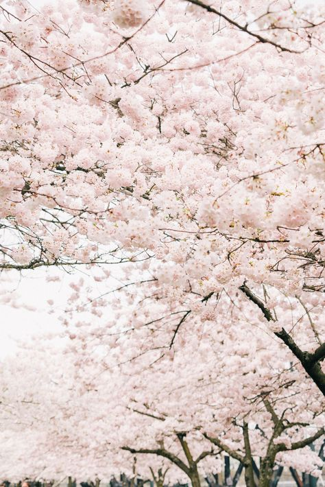 2020 Local S Guide To Cherry Blossoms In Portland Visit Portland Cherry Blossom Cherry Blossom Wallpaper Blossom