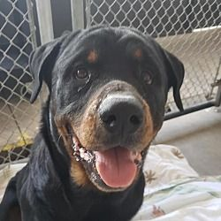 Fort Myers Fl Rottweiler Meet Atlas A Pet For Adoption