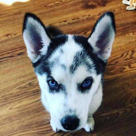 Things We Admire About The Playful Siberian Husky Pups