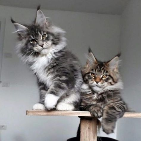 A Rundown Of Instances That Proves The Maine Coons Are More...