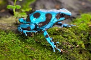 Frog In Tropical Rain Forest Blue Poison Dart Frog Dendrobates