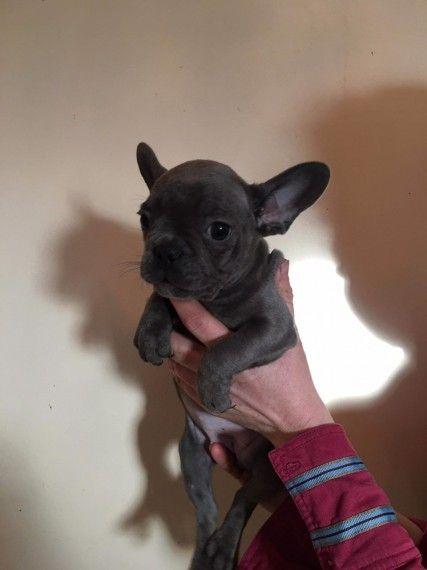 Chunky French Bulldog Puppies Newark Nottinghamshire