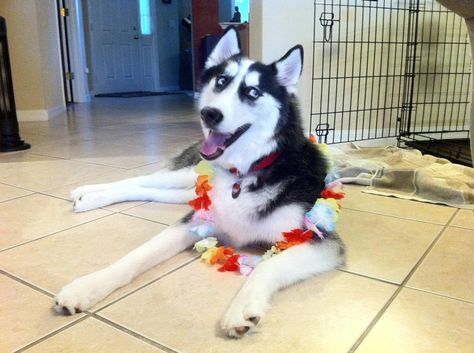 Hawaii Here I Come Http Puppypicturesplease Com Hawaii Here I