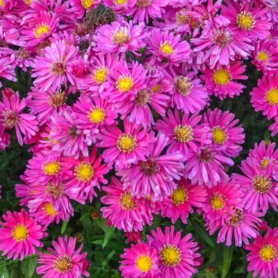 Spring Hill Nurseries 2 In Pot Carmine Red Kickin Aster Live Deciduous Plant Red And Pink Flowering Perennial 1 Pack 60811 In 2020 Spring Hill Nursery Plants Perennials