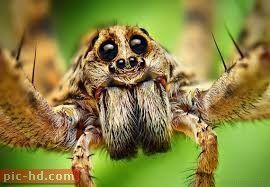 صور العناكب انواع العناكب ومعلومات عنها Spider Face Wolf Spider Amazing Macro Photography