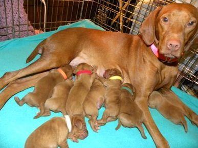 Puppies Au Sable Vizslas Jared Foerch Puppies Akc Breeds
