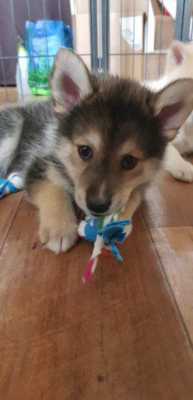 1 Male F2b Pomsky Puppy For Sale Pomsky Puppies Puppies For